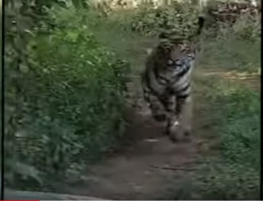 टाइगर रिजर्व में टूरिस्ट जिप्सी पर बाघ का अटैक, काफी देर तक करता रहा पीछा